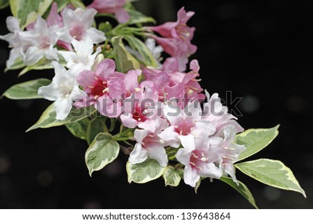 Variegated weigela shrub pink flowers stock photo royalty free variegated weigela shrub with pink flowers mightylinksfo