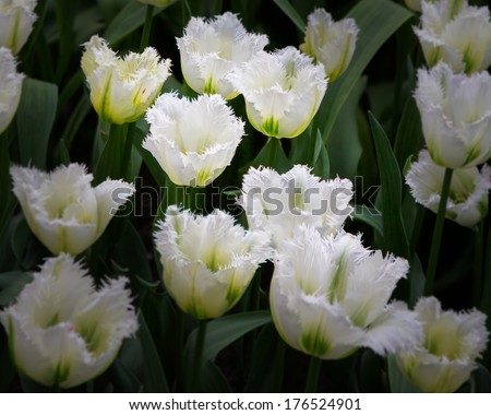 Variegated white tulips with unique edges - stock photo