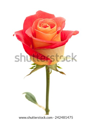 variegated yellow and orange rose, isolated on white - stock photo