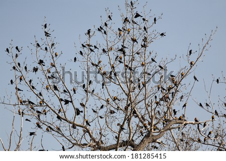 Variety of blackbirds in tree - stock photo