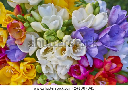 variety of colorful freesias, floral background - stock photo