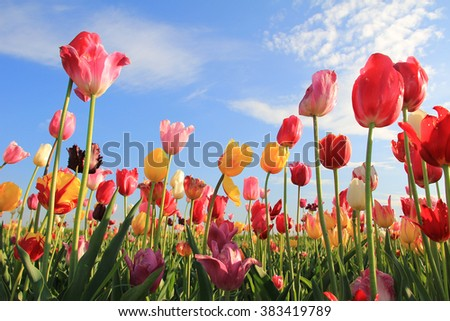 variety of colorful tulips in the field, against blue sky with clouds - stock photo