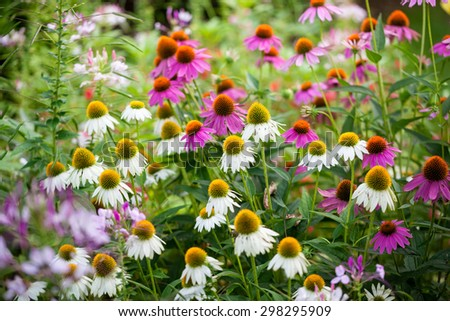Variety of coneflower in white, purple and pink in a summer backyard garden  - stock photo