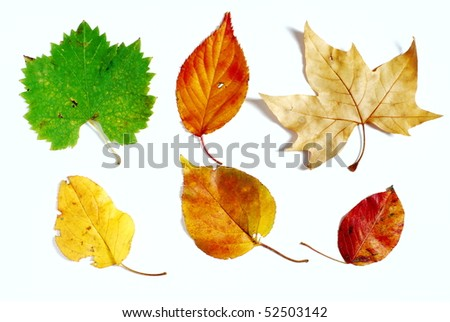 Variety of different shapes and colors in autumn leaves photographed on white background