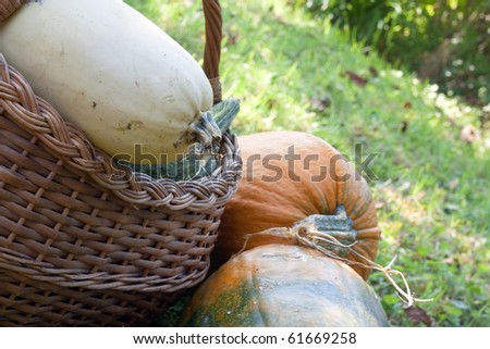 Variety of pumpkins lying on the ground in the garden - stock photo
