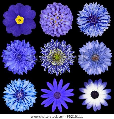 Various Blue Flowers Selection Isolated on Black Background. Daisy, Chrystanthemum, Cornflower, Dahlia, Iberis, Primrose - stock photo