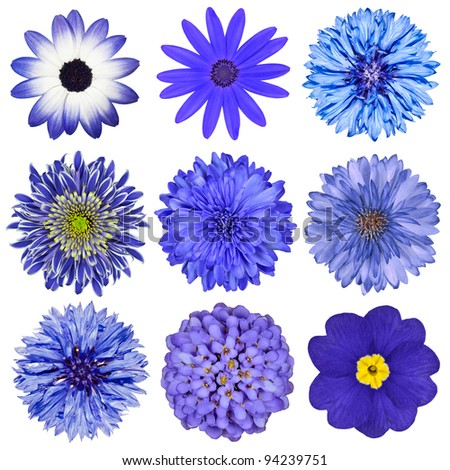 Various Blue Flowers Selection Isolated on White Background. Daisy, Chrysanthemum, Cornflower, Dahlia, Iberis, Primrose - stock photo