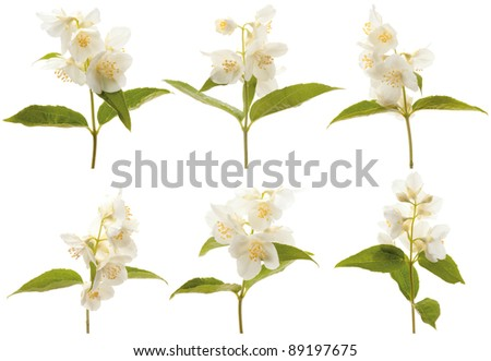 Various branches of blooming jasmine on a white background - stock photo