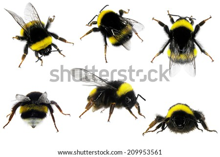 Various bumblebees isolated on the white background.  Close up - stock photo