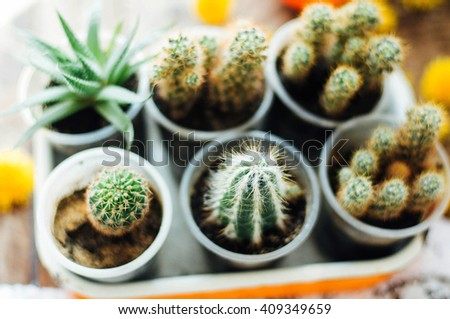 Various cactus plants, selective focus. Cactus and succulents collection in small flowerpots. The rustic interior.  - stock photo