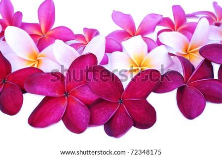various color of frangipani flower - stock photo