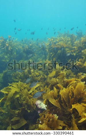 Various forms of kelp plant habitats in the temperate waters of southern Pacific ocean around New Zealand. - stock photo