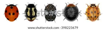 Various ladybugs (ladybird beetles). Isolated on a white background - stock photo