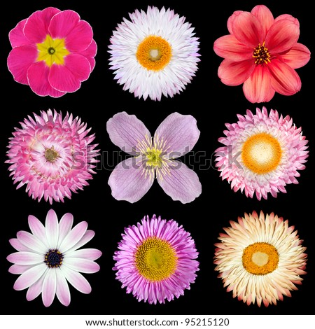 Various Pink, Red, White Flowers Isolated on Black Background. Selection of Strawflower, Clematis, Daisy, Dahlia, Primrose, English Daisy - stock photo