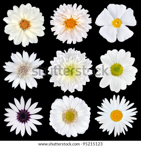 Various Selection of White Flowers Isolated on Black Background. Set of Nine Daisy, Gerber, Marigold, Osteospermum, Chrysanthemum, Strawflower, Cornflower, Dahlia Flowers - stock photo