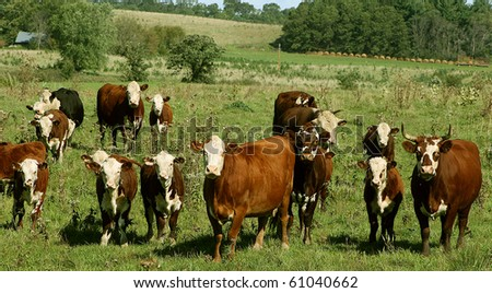 various sizes of hereford cows standing in a pasture - stock photo