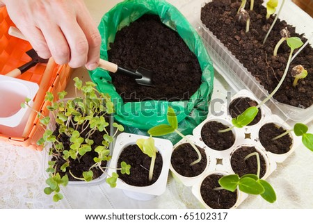various sprouts growing in pots with soil - stock photo