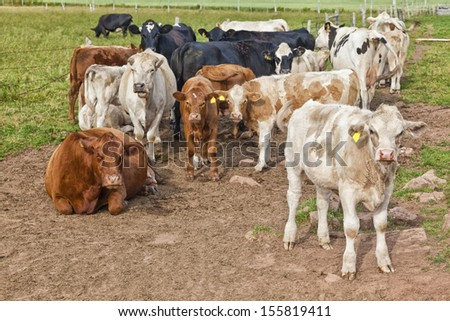 Various types of cattle and cattle mix breeds in a farm paddock. - stock photo