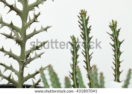 Various types of Euphorbia focusing at Euphorbia Stenoclada sharp spine. - stock photo