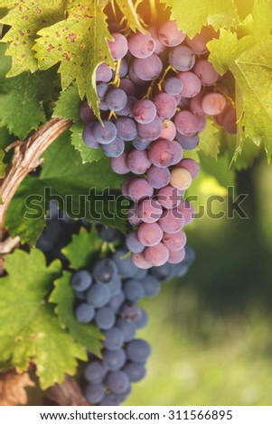 Various types of grapes on a vine in a vineyard, close up. Soft and blur style for background. A photo with very shallow depth of field  - stock photo