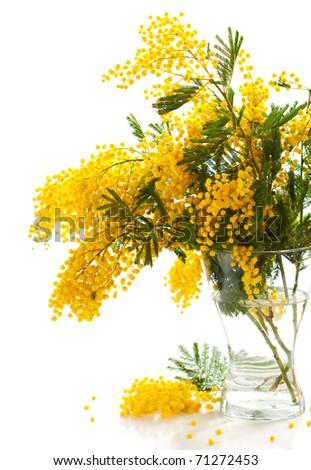 Vase of yellow mimosa on the white  background - stock photo