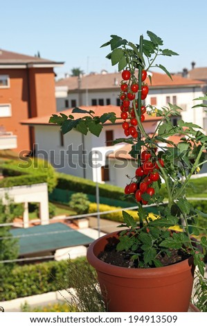 vase with red tomatoes on the terrace of the apartment in the city - stock photo