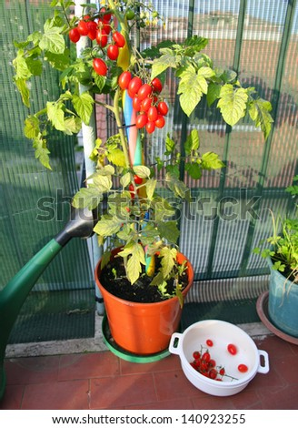 vase with tomato plant and the white container with those already collected