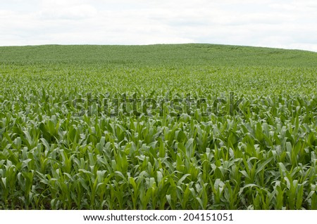 Vast corn field in rural landscape - stock photo