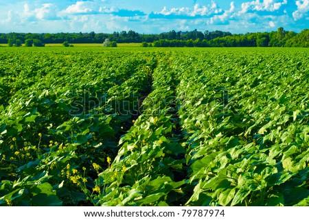 vast field before harvest - stock photo