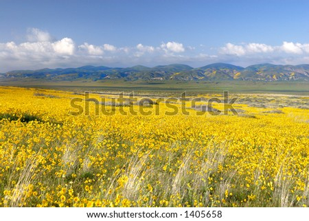 Vast fields of yellow coreopsis (daisies) flowers and green hillsides