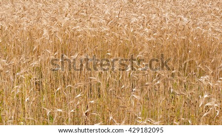 Vast golden ripe rye (Secale cereale) ears on farm field ready for harvesting with focus on foreground.  - stock photo
