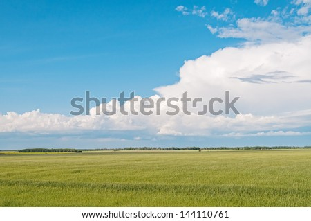 Vast Rye (Secale cereale) field before grove against blue sky background. Ryazhsky district, Ryazansky region, Russia.  - stock photo