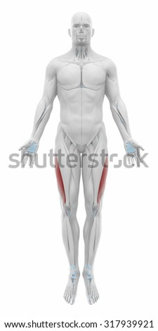 Vastus lateralis - Anatomy map muscles - stock photo