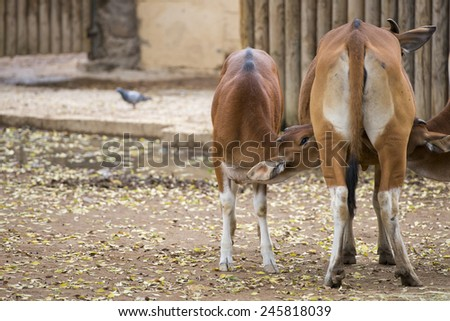Veal while suckleing from mother cow - stock photo