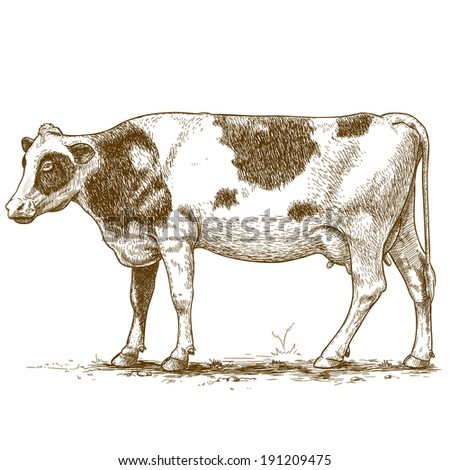 vector illustration of engraving cow on white background - stock photo