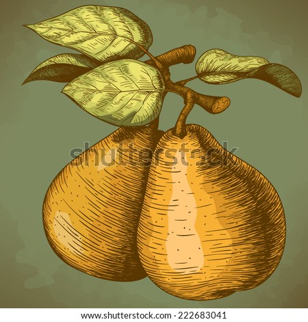 vector illustration of engraving pear and leaf on the branch in retro style  - stock photo