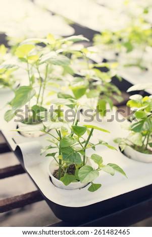 vegetable at farm - stock photo