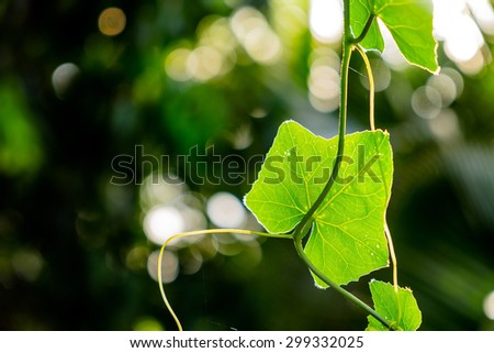 Vegetable, Bunch of Ivy Gourd Leaves - stock photo