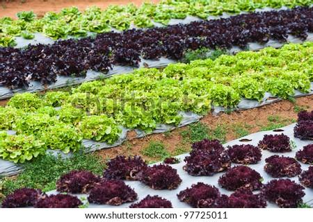 vegetable farm - stock photo