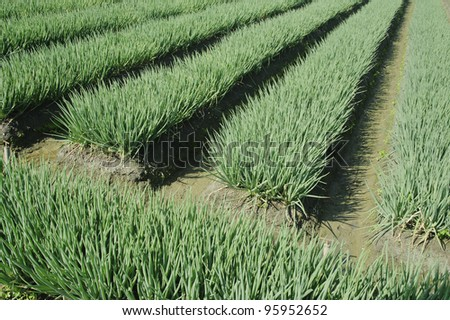 vegetable farm of harvesting green onion. - stock photo