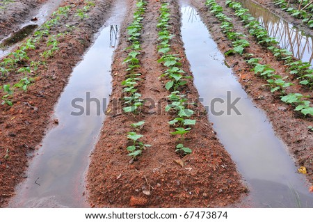 Vegetable Farming With Water irrigation - stock photo