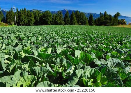 Tobacco field north carolina stock photo 83574793 shutterstock for North carolina vegetable gardening