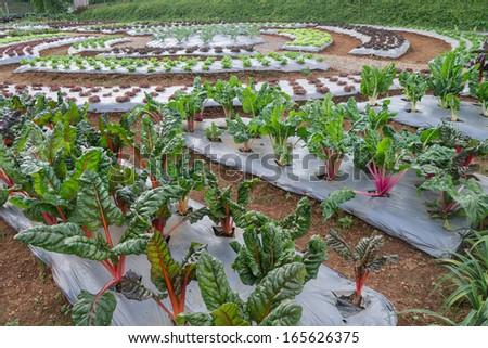 vegetable garden and salad farm in Thailand - stock photo