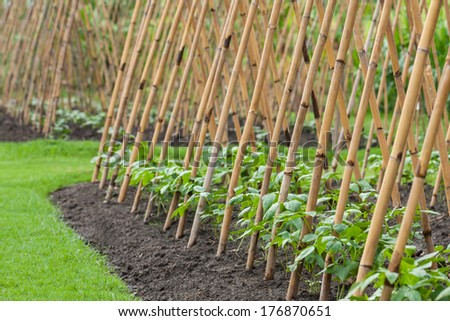 vegetable garden, bean sprout ivy crutches and climbing up on bamboo - stock photo