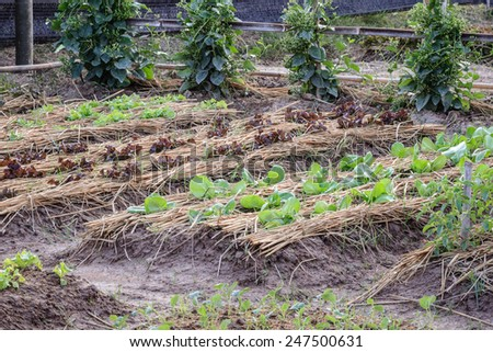vegetable garden ,Cultivation of Thailand - stock photo