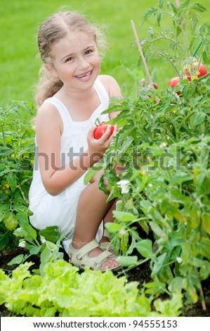 Vegetable garden - lovely gardener with picking ripe tomatoes - stock photo