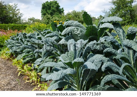 Vegetable garden with kale - stock photo