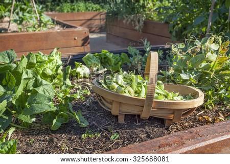 Vegetable garden with peas in trug - stock photo