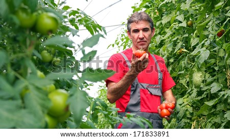 Vegetable Grower in Greenhouse. Food Production. Portrait of a farmer with ripe, red tomatoes in his hand.  - stock photo
