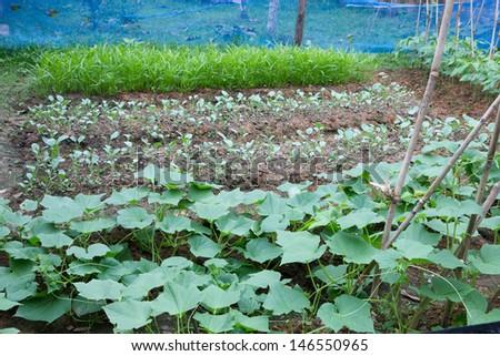 Vegetable growing in a home garden - stock photo